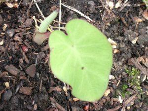 Colocasia esculenta Taro Neuaustrieb Ende Mai