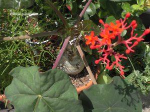 Jatropha podagrica Flaschenpflanze Blüte Juli