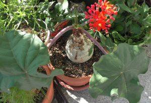 Jatropha podagrica Flaschenpflanze Blüte Juni