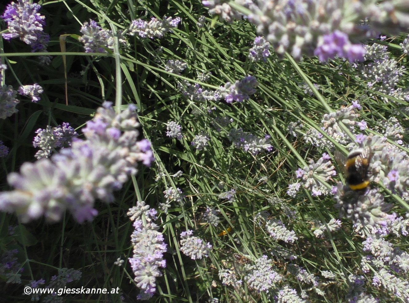 Lavendel Giesskanne At