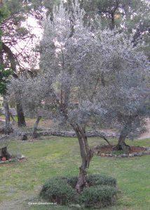 Olivenbaum auf Cres
