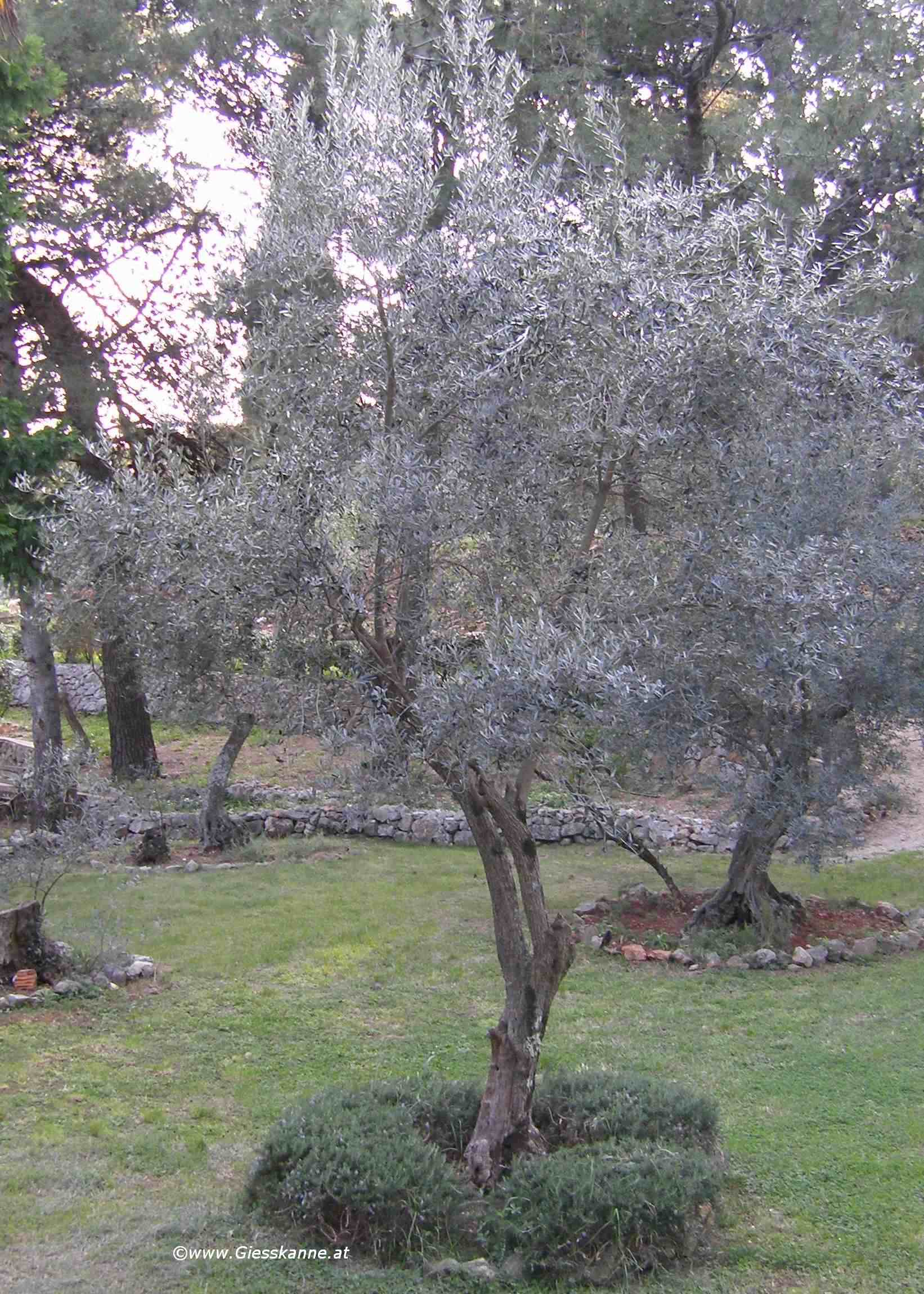 Olivenbaum Giesskanne At