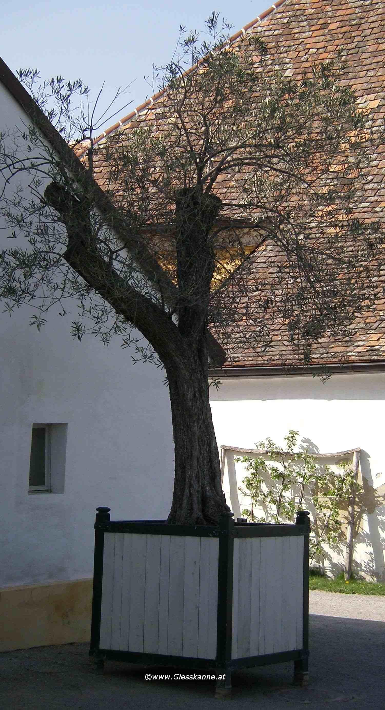 olivenbaum. Black Bedroom Furniture Sets. Home Design Ideas