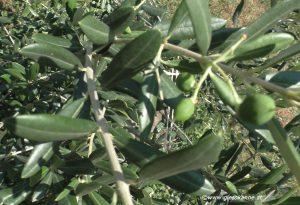Olivenbaum mit Oliven im Juli Österreich