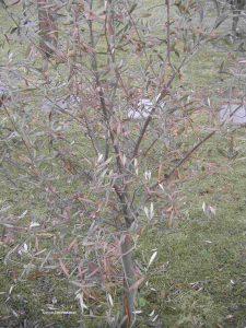 Olivenbaum erfroren, Winter 2016-2017