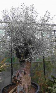 Alter Olivenbaum im Topf