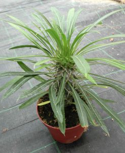 Pachypodium lamerei - Madagaskarpalme, junge Pflanze