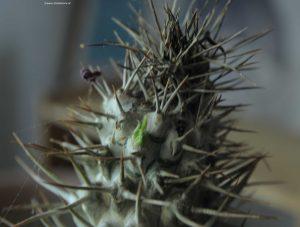Pachypodium lamerei Madagaskarpalme mit Austrieb oben