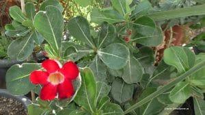 Adenium obesum - Wüstenrose Blüte