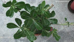 Adenium obesum - Wüstenrose