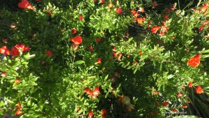 Blüte Granatapfel August