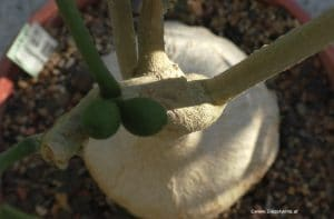 Pyrenacantha malvifolia Samen August