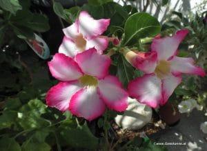 Adenium obesum Weiss-Rosa Blüte