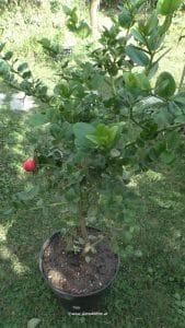 Natalpflaume mit Frucht