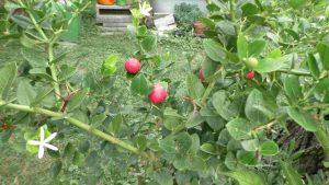 Carissa macrocarpa Natal-Pflaume mit Früchen und Blüten