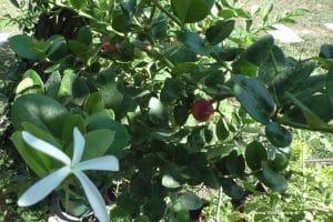 Carissa macrocarpa - Natal-Pflaume mit Blüte