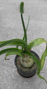 Ornithogalum caudatum Blüte