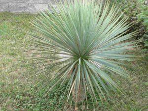 Yucca Rostrata September