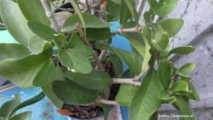 Hydnophytum formicarum, Ameisenpflanze