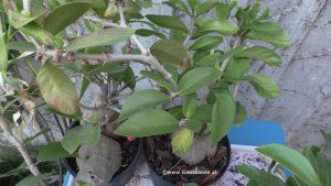 Ameisenpflanzen - Hydnophytum formicarum und mosleyanum