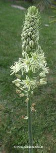 Falsche Meerzwiebel - Ornithogalum caudatum Blüte