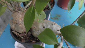Ameisenpflanze - Hydnophytum mosleyanum