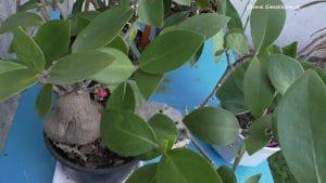 Ameisenpflanzen - Hydnophytum