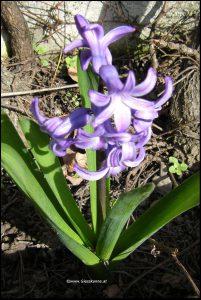 Hyazinthe violett