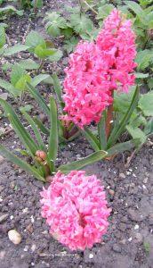 Hyazinthen rosa im April