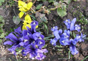 Iris - Netzblatt-Schwertlilie