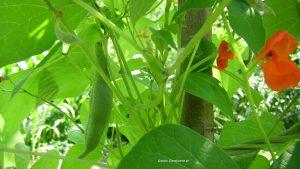 Käferbohnen Blüten und Früchte Juli
