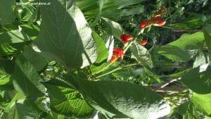 Blüte Käferbohnen