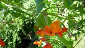 Käferbohne Blüte und kleine Schoten
