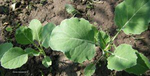 Kohlrabipflanze Juni