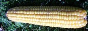 Mais oder Kukuruz nach Ernte