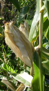 Maiskolben vor Ernte im Oktober