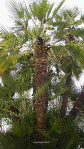 Palmen kaufen?