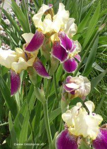 Blüte Schwertlilien - Iris