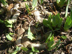 Knollen Schwertlilien im Frühling