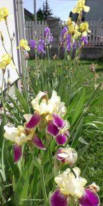 Schwertlilien Mitte Mai Blüte