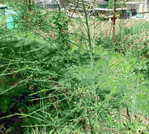 Spargel grün, ausgewachsen im Mai