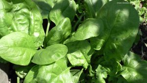Spinat - Sommerspinat im Mai
