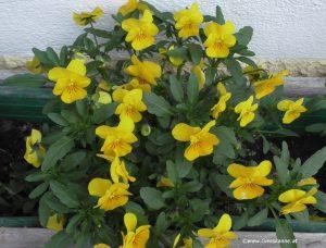 Stiefmütterchen Gelb