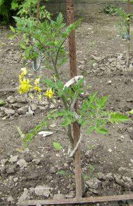 Tomatenpflanze mit Blüten