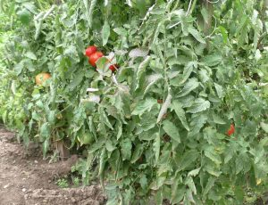 Tomaten mit Wassergraben