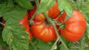 Tomaten - Paradeiser