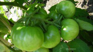 Grüne Tomaten-Paradeiser im Juli
