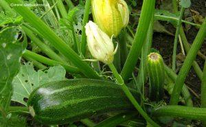 Zucchini mit Frucht Ende September
