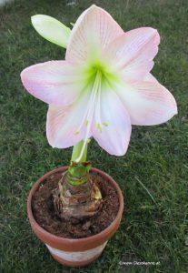 Amaryllis Ritterstern Hippeastrum
