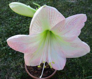 Amaryllis Ritterstern Blüte